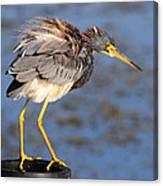Fluffy Tri Colored Heron Canvas Print