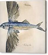 Flying-fish, 1585 Canvas Print