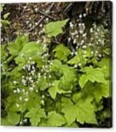 Foamflower (tiarella Trifoliata) Canvas Print