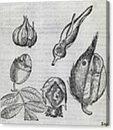 Foetal Plants, 16th Century Artwork Canvas Print