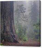 Fog And Redwoods Canvas Print