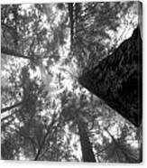 Foggy Treetops Canvas Print