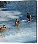 Follow The Leader Duck Style Canvas Print