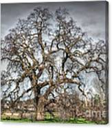 Folsom Oak Tree Canvas Print