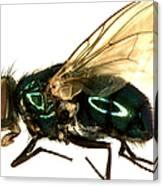 Forensic Helper, Common Green Bottle Canvas Print