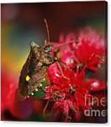 Forest Bug - Pentatoma Rufipes Canvas Print