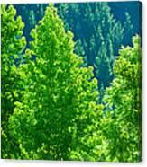 Forest Illuminates In The Sunlight  Canvas Print