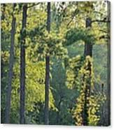 Forest Illumination At Sunset Canvas Print