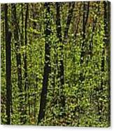 Forest In Spring Foliage, Six Mile Lake Canvas Print