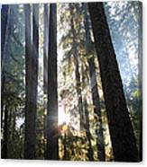 Forest Sun Rays In Olympic National Park Canvas Print