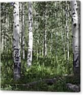 Forever Aspen Trees Canvas Print