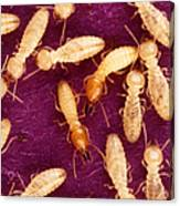 Formosan Termites Canvas Print