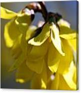 Forsythia Blossoms Canvas Print