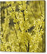 Forsythia In Full Bloom Canvas Print