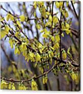 Forsythia 'minigold' Flowers Canvas Print