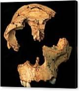 Fossilised Skull, Gran Dolina Canvas Print