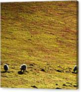 Four Sheep Canvas Print