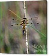 Four-spotted Chaser Dragonfly 3 Canvas Print