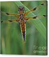 Four-spotted Chaser Dragonfly 4 Canvas Print