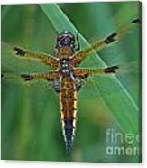 Four-spotted Chaser Dragonfly 5 Canvas Print