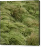 Foxtail Barley And Western Wheatgrass Canvas Print