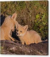 Foxy Talk Canvas Print