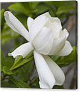 Fragrant White Gardenia Blossom Canvas Print