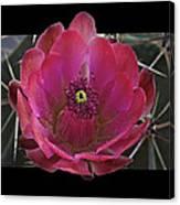 Framed Fuchsia Cactus Flower Canvas Print