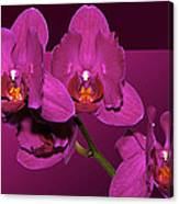 Framed Orchids Canvas Print