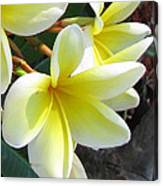 Frangipani Up Close Canvas Print