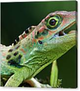 Frasers Anole Anolis Fraseri Male Canvas Print
