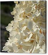 French Vanilla Hydrangea Canvas Print