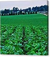 Fresh Cabbage Canvas Print