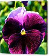 Fresh Face Pansy Canvas Print