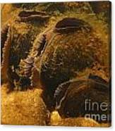 Freshwater Pearl Mussels Canvas Print