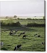 Friesian Bullocks, Ireland Herd Of Canvas Print