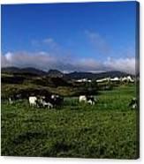 Friesian Cattle, Allihies, Co Cork Canvas Print