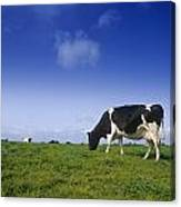 Friesian Cow Grazing In A Field Canvas Print