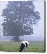 Friesian Cow, Ireland Canvas Print