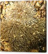 Frilled Sea Anemone Canvas Print