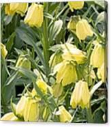 Fritillaria Pallidiflora Canvas Print