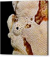 Frogfish Face Canvas Print