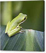 Froggie On A Leaf Canvas Print