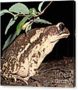 Froggy's Good Side Canvas Print