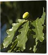 From Little Acorns Canvas Print