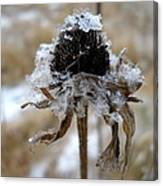 Frost And Snow On Dead Daisy Canvas Print