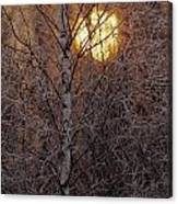 Frost-covered White Birch Trees Canvas Print