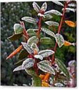 Frosted Rhodie Canvas Print