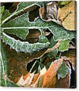 Frosty Leaves II Canvas Print