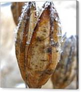 Frosty Tiger Lily Seed Pod Canvas Print